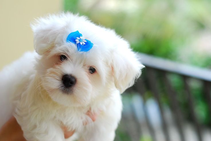 Top 3 Small Dogs That Don't Shed Too Much | DOGSArena.com |