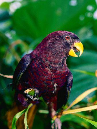 El lori de Ponapé (Trichoglossus rubiginosus) es una especie de loro monotípico de la familia psittaculidae. Es endémica de la isla de Pohnpei y el cercano atolón de Ant, en Micronesia. Su hábitat natural son los bosques de tierras bajas húmedas tropicales y plantaciones. La dieta se compone de néctar y polen de cocos y frutas y larvas de insectos. Anida en un agujero en un árbol, pone un único huevo.