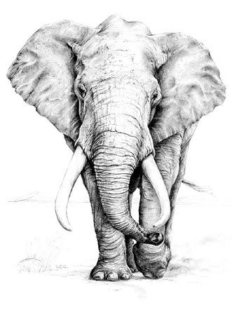 'African Elephant graphite pencil drawing by Linda Weil