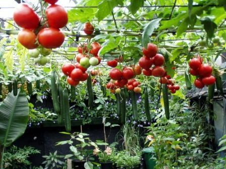 This makes it easy to harvest and keeps things off the ground. Tomatoes and Cucumbers hanging from rebar trellis.