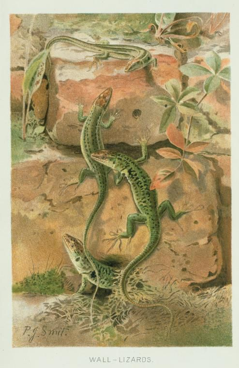 Wall Lizards.