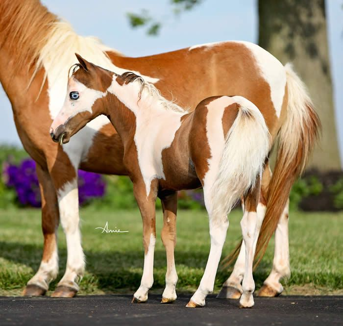 AMHA/AMHR (eligible) 2017 Chestnut Pinto w/Blue Eyes. Did I mention its a FILLY?! There aren't many that can light up the ring with color, presence and style the way that this filly can! Offered by Mini Horse Sales