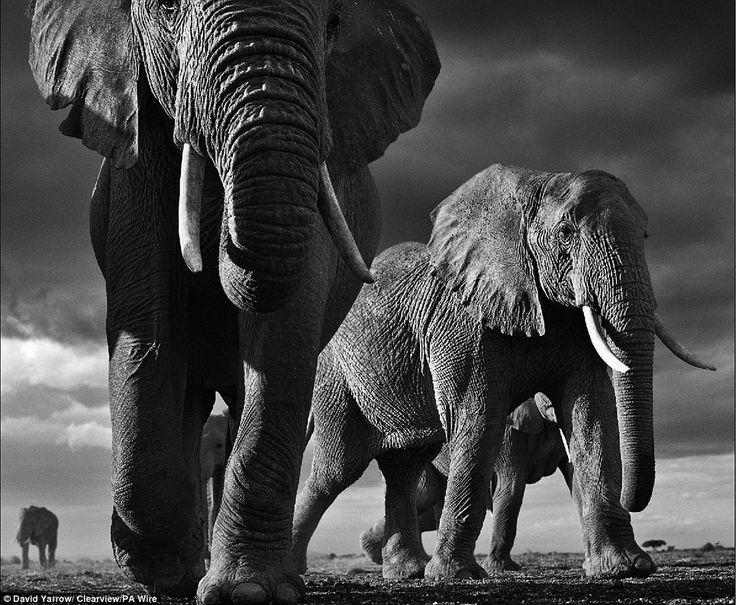 Mail Online. #DailyMail #WildlifePhotography #DavidYarrow