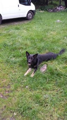 German shepherd free to good home swansea