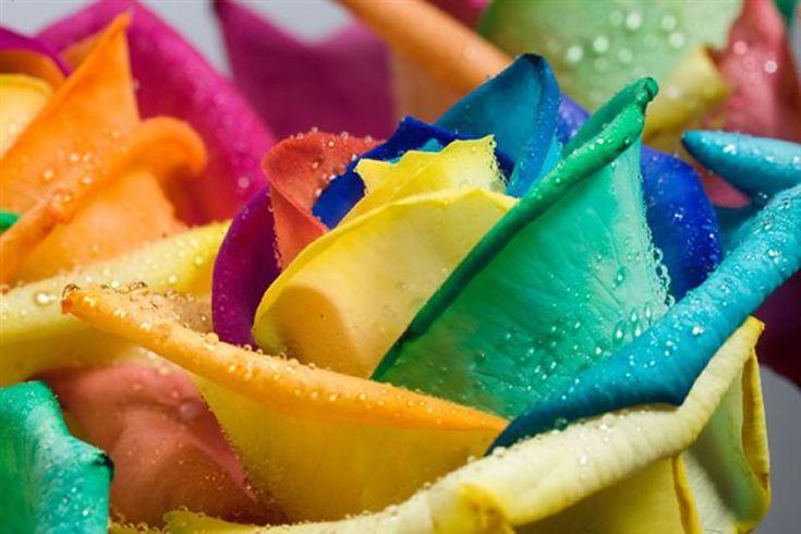 Best 25 rainbow roses ideas on pinterest rainbow for How much are rainbow roses