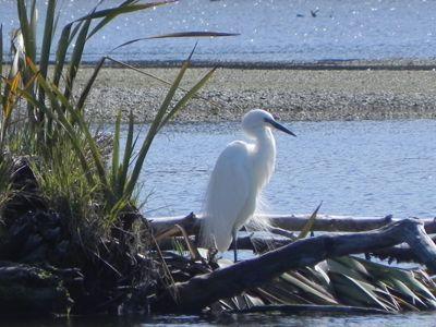 Kotuku or great white heron - Okarito