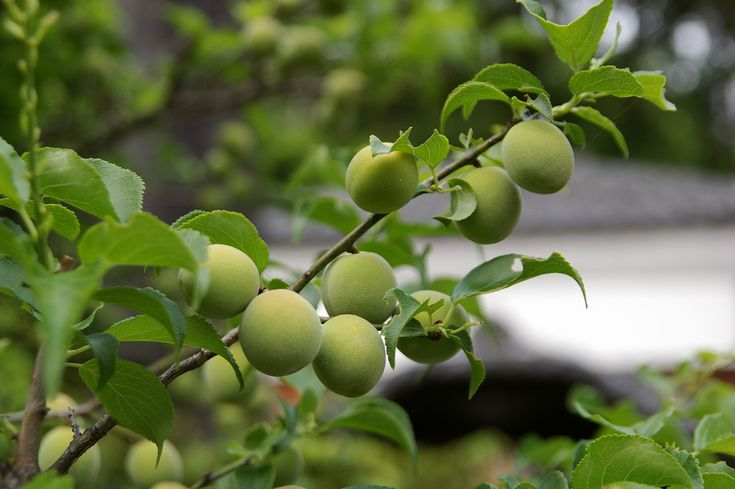 The most common plum variety grown is European plum, which is primarily turned into preserves and other cooked products. If you want a juicy plum to eat right off the tree, the choice is most likely a Satsuma Japanese plum tree. Click here for more info.