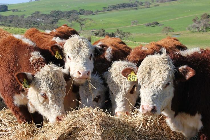 Yearling bulls at Ellers Past Co,Back Valley, SA. Edition 2  stumpandrail.com