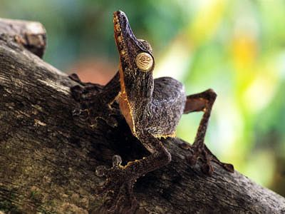 Best Lizards Images On Pinterest Lizards - Majestic dragon lizard caught playing leaf guitar indonesia