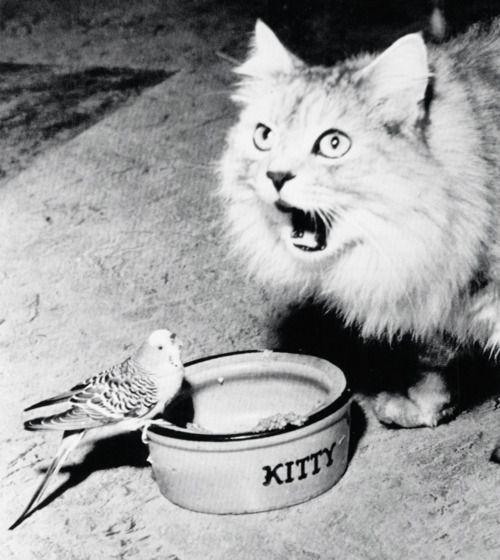 """""""Snooky, the pet cat of Mrs. Earl Stauffer, meows in protest as the family parakeet, Cheechee, invades the sanctity of her food bowl.""""  Allentown, PA (1956)"""