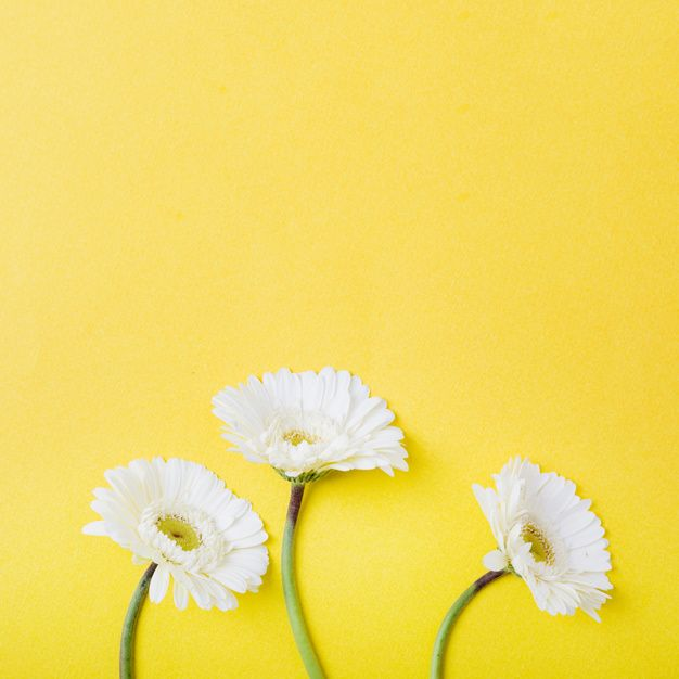 Download Close Up Of Three White Gerbera Flowers On Yellow Background For Free Pretty Flowers Background Yellow Background Flower Backgrounds