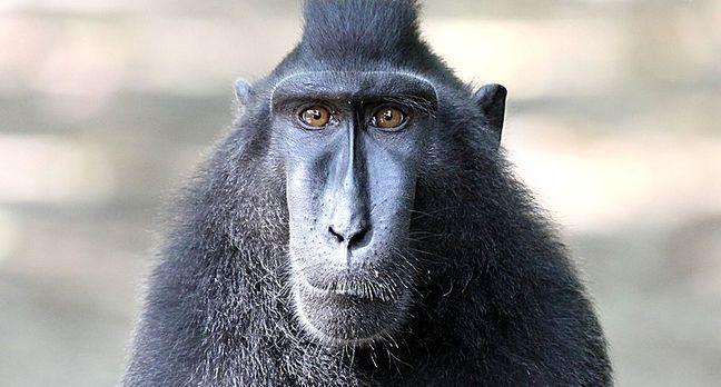 Macaque By Henrik Ishihara