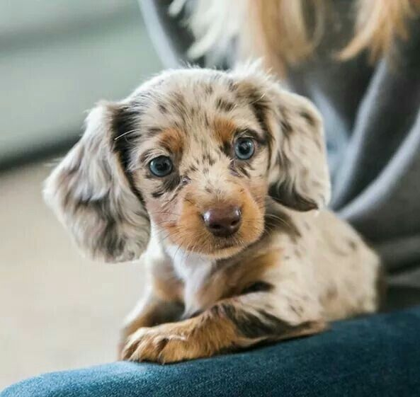 Dapple Dachshund Puppies Cute Baby Animals Cute Animals
