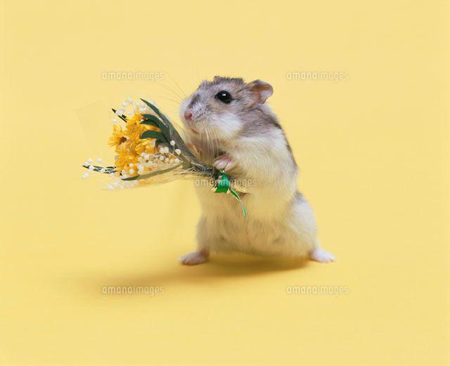 花束を持って立つジャンガリアンハムスター[21033000118]| 写真素材・ストックフォト・イラスト素材|アマナイメージズ