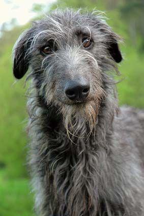 Scottish Deerhound, beautiful dog, (really big dog too).