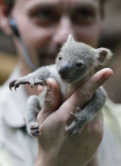 A baby koala joey shows off her formidable claws after being weighed for the first time at the Duisburg Zoo in Germany.