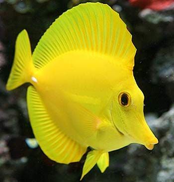 Tropical Fish: The Thorn-Tailed Fish (Acanthuridae) is a family of forked-tailed fish, (aka: tang, surgeonfish, unicornfish & more). There are over 80 species in this family, all who have very sharp & dangerous spines on their tail, which fork out at their rear. Usually the spines lie flat against the sides of the fish but if they are angry or scared the spines stick out & can be used to lash out at any perceived threat as the fish thrashes its tail about.