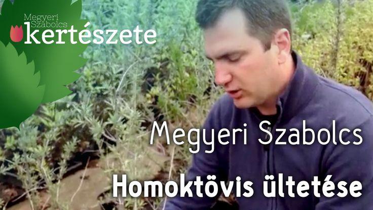 Homoktövis - Hippophae rhamnoides ültetése - Megyeri Szabolcs Kertészet