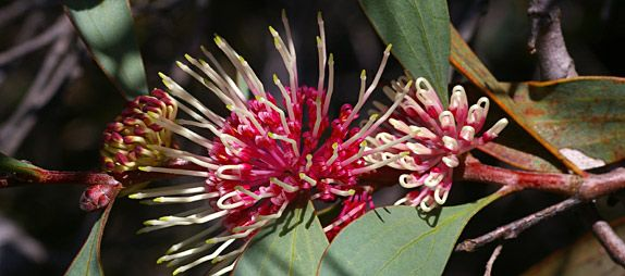 Hakea petiolaris -- an Australian Native Plant. The genus Hakea is often thought of as the 'poor relation' to Grevillea. However, there are many hakeas that can contribute to a spectacular and diverse native garden.