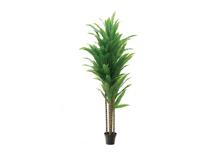 Dracena 183 CM Tree | Super Amart