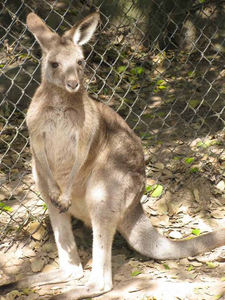 Kangaroo - Lone Pine Koala Sanctuary
