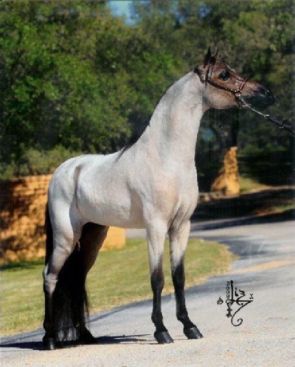 Gorgeous Red Roan Stallion-- more of a bay roan or grullo? wouldnt red roan have a more sorrel or chestnut as a base hue?