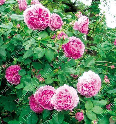 146 best la guerre des roses c images on pinterest wars of the roses bloemen and blossoms. Black Bedroom Furniture Sets. Home Design Ideas