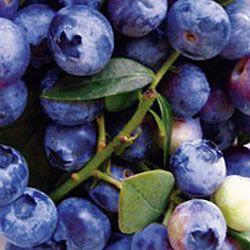 Buy Blueberry Blue Pearl Bush | Marshalls Seeds
