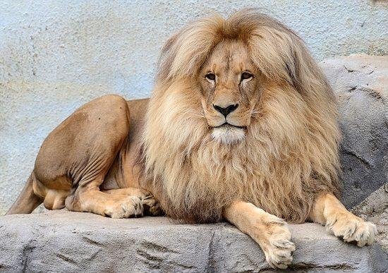 """O leão Leon, que vive no zoológico Ústí nad Labem, na República Tcheca, é a principal atração do parque pela beleza única entre os """"reis"""" da selva"""