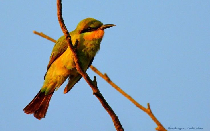 A rainbow bee-eater, on a migratory path that extends from southern to northern States, pauses in the morning's first light.