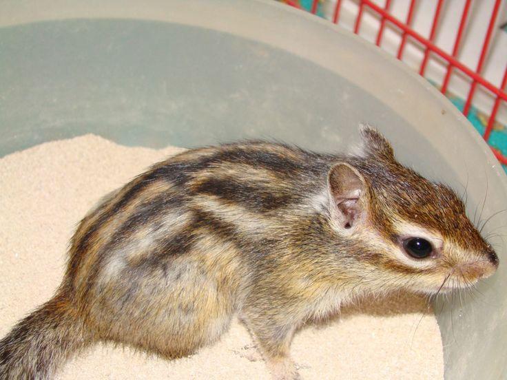 Tamia sibiricus - L'écureuil de Corée est un petit rongeur vif, très curieux…