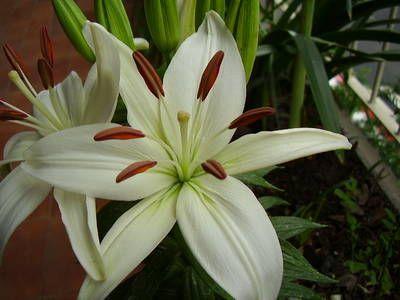 Azucenas fotograf as foro de infojard n garden white for Azucena plantas jardin