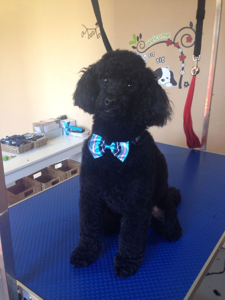 Charlie Bear My Fur Baby Toy Poodle Love