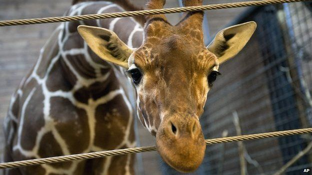 A young giraffe at Copenhagen Zoo has been euthanised - in the words of officials - to prevent inbreeding. The BBC examines the reasons for the action, which caused an outcry.