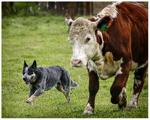 Australian Cattle Dog (brave little dogs)