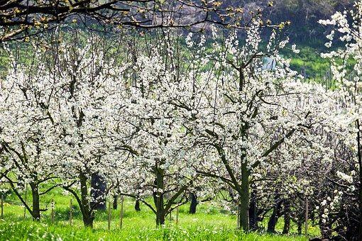 Cireși, Floare, Cireşe Blossoms