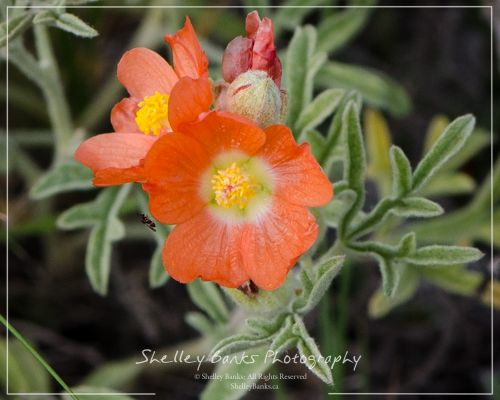 Scarlet Mallow.Copyright © Shelley Banks, All Rights Reserved.