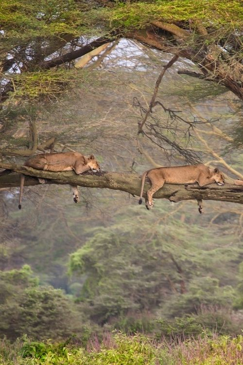 Uganda Queen Elizabeth National Park - tree-climbing lions!!
