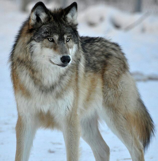 51 Best Wolves Images On Pinterest Wild Animals Fox And