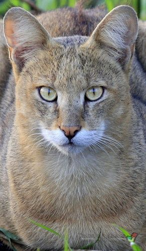 ❧ Wild cats - Les félins ❧ This is a jungle cat, reed cat or also called a swamp cat. Found in CHINA.