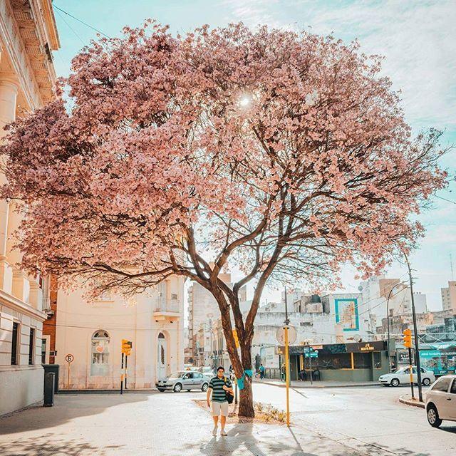La docta se tiñe de rosa #lapachorosado #cordoba #argentina360