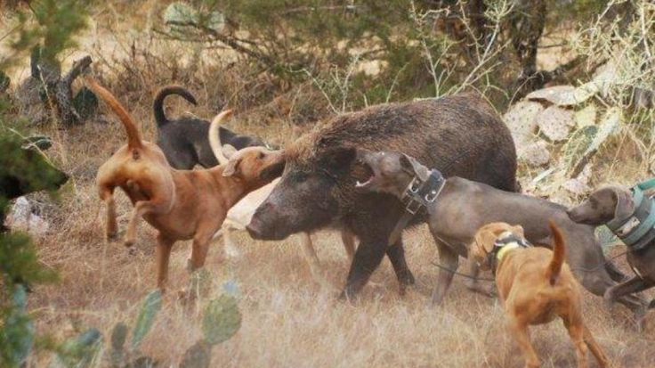 Before dogs were considered pets, they were working animals first. They helped the early settlers hunt for food and protect livestock. Hog hunting with dogs, in particular, is quite common to this day across many parts of the country.If you wish to learn more about this practice or want to ...