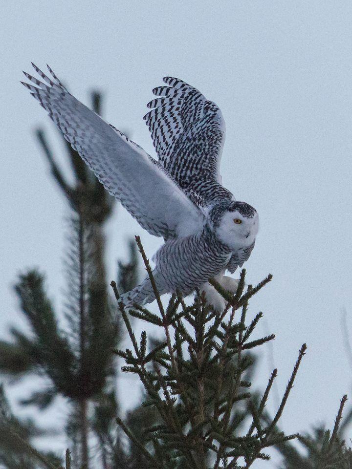 The majestetic snowy owl https://www.facebook.com/torpedoowl
