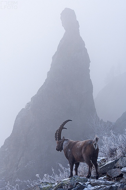 Ibex Alpes mountains $250 50x75cm professional paper. Post not included by ebmfoto.com