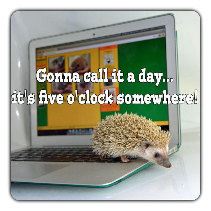 #hedgehog #meme #fiveoclock #lol #computer  #millermeade #breeder #funny www.critterconnection.cc