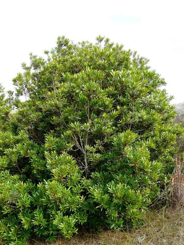 Myrica californica, Pacific Wax Myrtle   - mix in with existing deciduous plants along fence line -evergreen - grows to 15' -native to CA coastline, best in afternoon shade in inland areas - likes occasional water during summer in small amounts, but not necessary