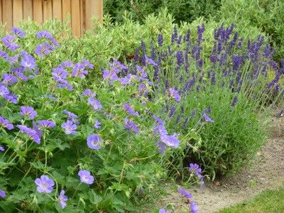 Afbeelding van http://www.gardeningsolutionz.co.nz/plant-catalogue/geranium-rozanne/Lavender%20and%20Geranium1.jpg/image_preview.
