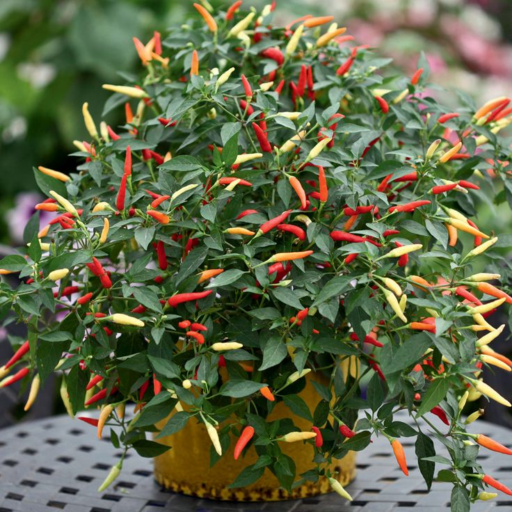 Hot stuff: Basket of fire peppers (colours range from cream, purple, yellow, orange & red, depending on level of maturity)