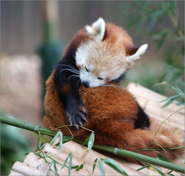 Populaire 174 best Red Panda | Panda roux images on Pinterest | Red pandas  WC14