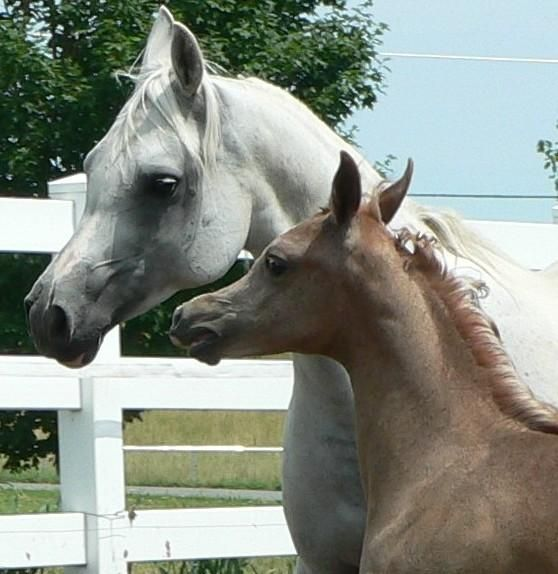 Arabian Horses for Sale | madison me usa ad type horse for sale color grey